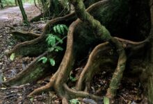 Mary Cairncross Tree Roots