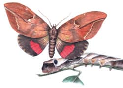 imperial fruit moth