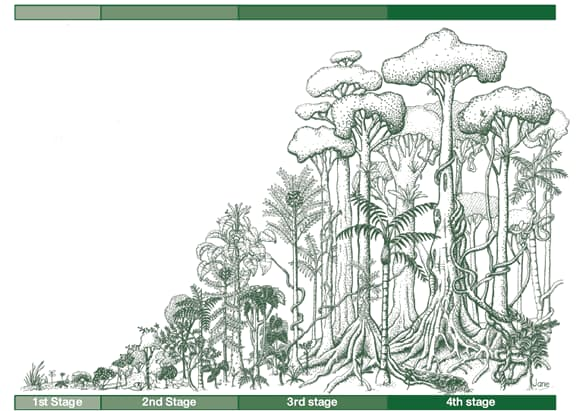 rain forest stages