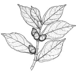 sandpaper fig